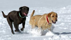 dogs-snow-running