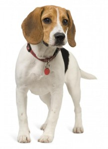 Hond met hondenpenning hondenpenningen AnimalWebshop